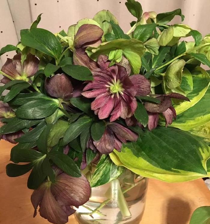 クリスマスローズの花期を十分に楽しんだら、花茎・花柄を切りましょう。  クリスマスローズは種を作ると株も疲れます。初めて開花したばかりの未熟な苗は種取を止め、体力を温存させるためにも種を作る前に花茎・花柄を切り、花瓶などに活けるなどして楽しみましょう。  種を取る取らないにかかわらず、遅くとも梅雨前には花茎・花柄を株元から切りましょう。 この時、有茎種は新しい茎の有無を確かめましょう。新しい茎が出ていない場合は花茎を根元から切ると、ショックで株全体が枯れてしまします。  その場合は、種を取って株を更新させましょう。 種を取る場合は、花に袋やネットをかけ、種が飛び散らないように注意しましょう。