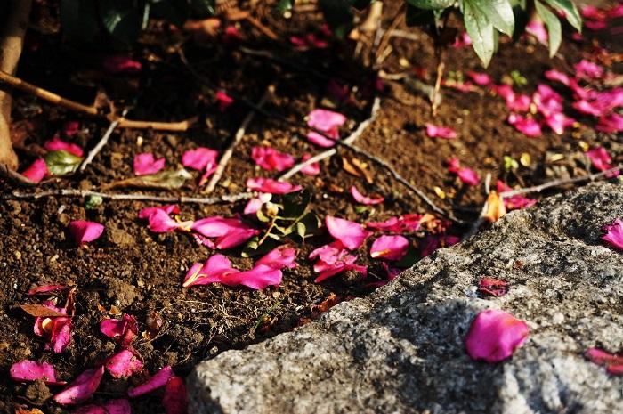 花がある時は見分けやすい 花がある時が一番見分けやすいです。一番有名な見分け方がこちらです。  ●椿(ツバキ):花が散る時に、花首から落ちる  ●山茶花(サザンカ):花が散る時は、花びらが落ちる  花首から落ちるツバキの散り際から「首が落ちるので縁起が悪い」と武士には嫌われていたというエピソードが有名ですね。  花が咲いている時期の違い ●椿(ツバキ):12月~4月  ●山茶花(サザンカ):10月~12月  花の品種や種類によっても変わってきますが、一般的にサザンカの花の方が咲くのが早く、ツバキの方が遅いです。
