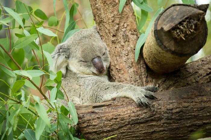 先ほど草食動物であるにもかかわらず、コアラの睡眠時間は16時間以上ということをご紹介しましたが、この長時間睡眠の秘密はユーカリの毒性にあります。  コアラの餌であるユーカリの解毒のためにエネルギーを使うため、コアラは食事以外は動かずに長時間寝る必要があったのです。  発酵させることでユーカリの毒素を分解し、消化吸収するコアラの盲腸はなんと2mほどもあるといいます。  コアラの体長が約65cm~80cm位といわれていますので、2mとはなんとも長い盲腸ですね。  ちなみに人間の盲腸は5cmほどといわれていますから、コアラの盲腸の長さには本当に驚かされます。  今まで動物園で眠っているコアラを見ると「起きて!!」と思ったものですが、これからは「解毒しているのか~」とそっと寝かせておいてあげたい気持ちになります。