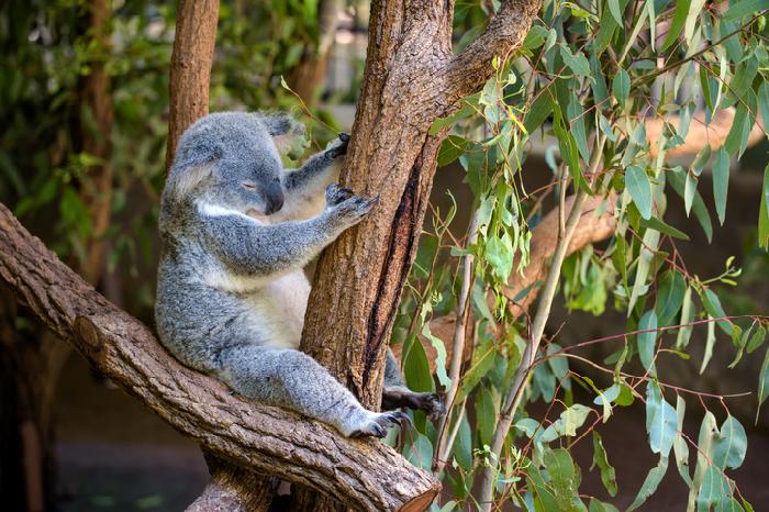 オーストラリア原産のユーカリは、先住民アボリジニが昔から傷を癒すために葉を利用していました。  近年でも葉からとれる精油は殺菌作用や抗炎症作用、鎮痛・鎮静作用があるとされアロマテラピーでもおなじみの精油となっています。  このユーカリの種類は600種類以上といわれており、細長い葉や丸葉など様々な品種が存在します。  また、ユーカリは根を深く伸ばし水を吸い上げる力が強いことから、各国で砂漠化した地域の緑化に使われて成功している素晴らしい植物でもあります。  ユーカリは大変人気のオーストラリアプランツで、グリーンインテリアとしても需要のある観葉植物でもあります。