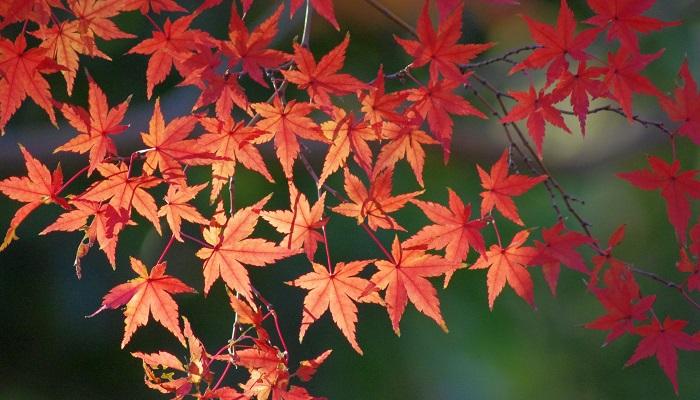 もみじ饅頭でもおなじみのモミジですが、広島県の木も花もモミジです。ムクロジ科カエデ属の木の総称です。広島県内には宮島、三段峡、帝釈峡などモミジの紅葉が美しい名所がたくさんあります。県の木として先に昭和41年に制定されました。その後、県の花はとくに決まっていませんでしたが、モミジが県民になじみ深いとし、モミジの花を県の花とすることにしたそうです。