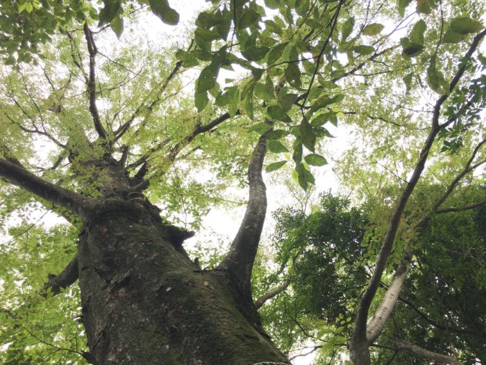 ここで問題です!  シャーマン将軍の木ような巨木で、今なお生長を続ける木に、私たちの背丈位の場所に長い杭を打ち込んだとします。ぐんぐん生長を続けると、この杭は数年後どうなるでしょうか?  1. 杭を打ちつけたために、木が枯れてしまう。  2. 木が生長して杭がはじき出される。  3. 生長とともに杭はぐんぐん上に上がる。  4. 杭は木に飲み込まれる。    正解は…    4. 杭は木に飲み込まれる。  これは、木が上に伸びる生長と幹を太くする生長が別々に行われるためです。上に伸びる生長は幹の先端や枝でおこるため、人の背の高さほどに打たれた杭は上に上がることはありません。また、幹の生長は幹の外へ外へとおこるため、生長した部分に飲み込まれてしまうのです。だから答えは「4の杭は木に飲み込まれる。」ということになるのです。