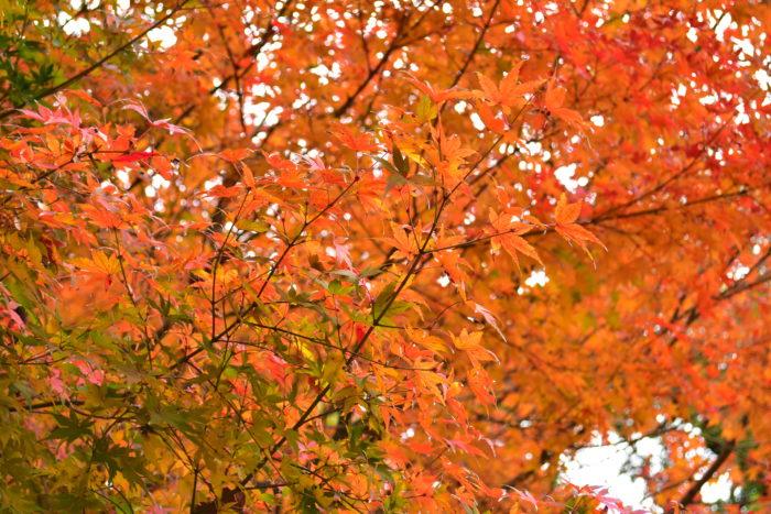 ではなぜ、日本にはこんなに落葉樹が多いのでしょうか。それは、氷河期に日本列島で広葉樹が生き延びたから!  他国では氷河にやられて死滅してしまったのがほとんどですが、日本では暖かい海岸線やその地形に守られ、多種多様な落葉広葉樹が生き残ることができたのです。奇跡のような気象の歴史を経て、今、生きている私たちが美しい紅葉を見ることができるのですね。