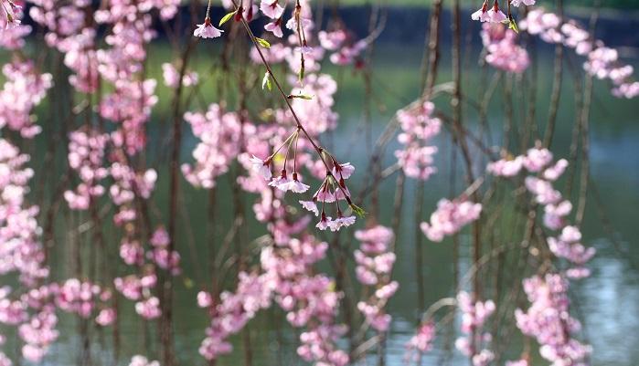 バラ科サクラ属、エドヒガンの枝たれ品種で、「いと桜」とも呼ばれます。流れるようなはんなりした柔らかさ、しなれども折れることのないさまが京都らしいと、昭和29年に制定されました。