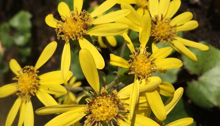 ツワブキはキク科ツワブキ属の多年草で、葉はフキに似て濃い緑の丸い葉です。花は菊のような花が長い茎の先に咲きます。  石蕗の 日陰は寒し 猫の鼻  酒井抱一  ツワブキは日陰でもよく育つので、自然と生えているところは少しひんやりとした場所ですが、そこにいる猫の鼻もひんやりするほどだ、ということでしょうか。酒井抱一は江戸後期の絵師であり俳人でもあります。さすが絵師だけあり、情景がすぐ浮かぶような句ですよね。