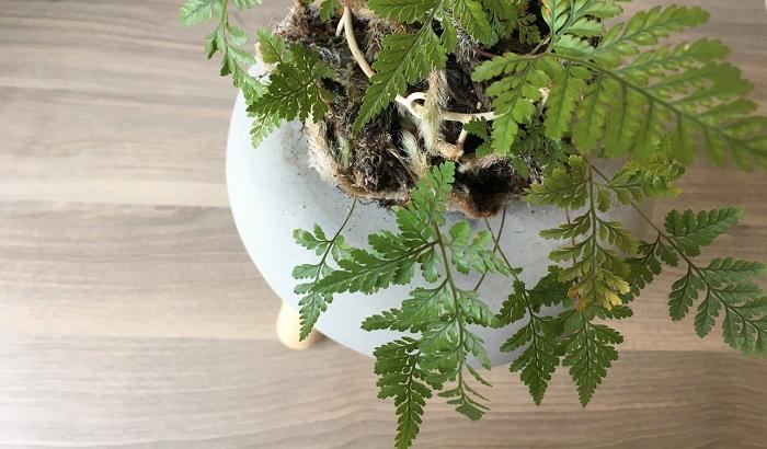 トキワシノブはシダ植物の仲間で、根が非常に魅力的な観葉植物です。成長していくにつれて根が伸びていき、丸く球のようになっていきます。  着生植物のためアレンジがしやすく、苔玉などに植え込み盆栽仕立てにすることもできます。  純和風の空間だけでなく、和洋折衷の空間づくりにいかがでしょうか?
