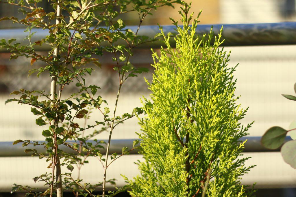右側のコニファー・ゴールドクレスト。園芸用に用いられるヒノキやマツなどの針葉樹の総称をコニファーと呼んでいます。コニファーには様々な種類があります。近年ではヨーロッパから入ってきた園芸用の針葉樹を指すことが多いです。そのため、寒さに強く冬場のベランダを彩ります。