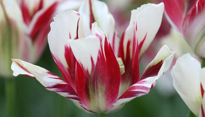 ユリ科チューリップ属の球根植物。富山県でも大正時代から球根栽培が盛んでした。昭和29年に県の花に制定されました。最初は切り花での生産から、球根の保存に成功することで球根栽培が活気づくことになります。現在富山県は、チューリップの球根は日本一の出荷量を誇っています。
