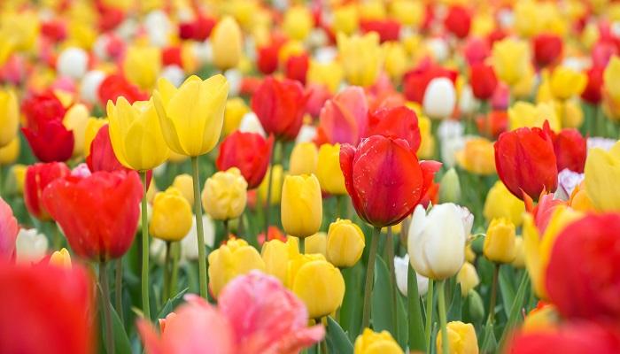 ユリ科チューリップ属の球根植物です。新潟県では大正時代から球根栽培に取り組み、県内の代表産業として取り組んできました。昭和38年に県の花に制定されました。現在新潟県はチューリップの切り花出荷量日本一となっています。