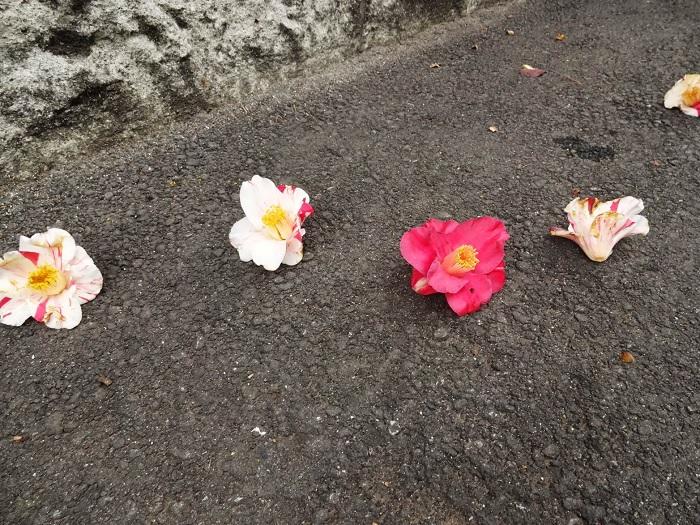 花がある時が一番見分けやすいです。一番有名な見分け方がこちらです。  ●椿(ツバキ):花が散る時に、花首から落ちる  ●山茶花(サザンカ):花が散る時は、花びらが落ちる  花首から落ちるツバキの散り際から「首が落ちるので縁起が悪い」と武士には嫌われていたというエピソードが有名ですね。