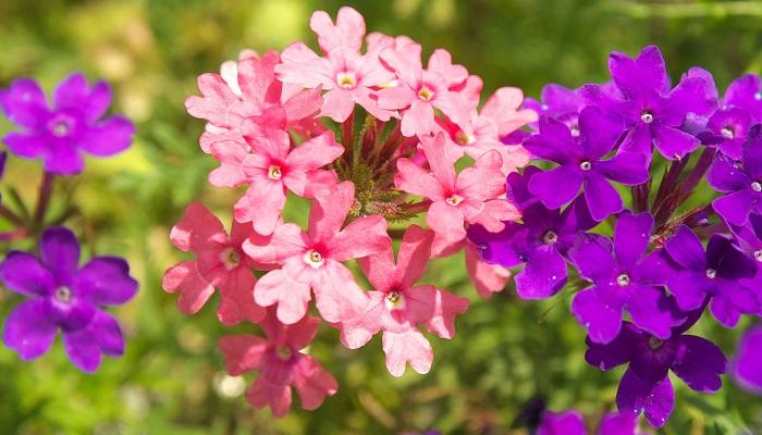 サクラソウ科サクラソウ属の多年草。4月~5月にかけてピンクの花が咲きます。さいたま市の田島ケ原には今も自生地が残っています。昭和46年11月5日に制定されました。