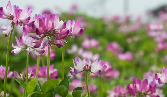 ゲンゲ(紫雲英)とも呼ぶ。レンゲ草。マメ科ゲンゲ属の越冬草(秋に発芽して冬を越して翌年枯れる植物のこと)です。昭和29年にNHKなどの主催で募集された都道府県「郷土の花」にて選ばれました。
