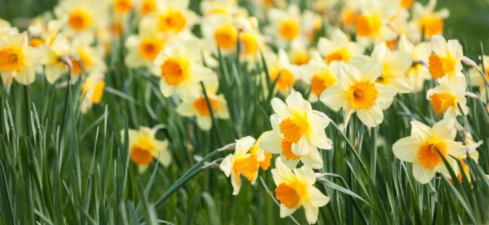 冬の花壇の定番!水仙