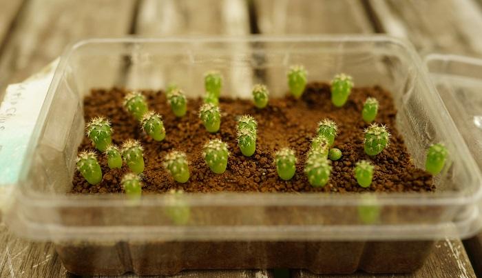 メロカクタス、種から発芽して6ヶ月です。立ち上がり、とげの数も増えました。