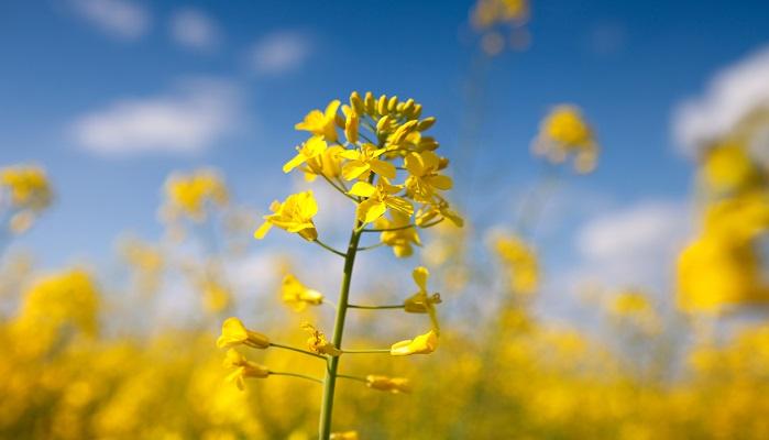 菜の花はアブラナ科アブラナ属の植物に咲く花の総称です。黄色の花と黄緑色の茎葉が青空によく映える植物ですね。桜と蝶々とセットで春らしいイメージがあります。花の生産量が多い千葉県の花は何花です。昭和29年4月にNHKが中心となって、一般公募から制定されました。正式に制定されているわけではないそうですが、現在も県の花は「菜の花」として広く親しまれています。