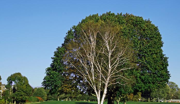小さな頃から馴染みのある、あなたと一緒に育った樹はありませんか?  例えば白樺。私事ではありますが、この木は小さいころから大人になるまでずっとそばにあった樹でした。  白樺の白い樹皮は簡単に剥ぐことができるため、おままごとの材料になったり、白樺の木にいる芋虫(カラフトモモブトハバチ)でさえもなんだか可愛く思えたり、学校への通学路の街路樹だったり、私にとって小さなころから親しんできた木です。  シラカンバ  英名: White Birch, Japanese White Birch 分類: カバノキ科カバノキ属 学名: Betula platyphylla Sukaczev 別名: シラカバ、白樺 原産地:東アジアの温帯北部  この木を見るとなんだか元気になる。あなたを勇気づけるシンボルツリーとこれからの人生も共に過ごしていくのも素適です。