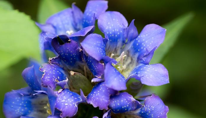 リンドウ(竜胆)はリンドウ科リンドウ属の多年生植物です。長野では山地や乾燥した草地で見ることができます。昭和41年に県民応募により決定しました。