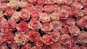 rose-1345289_1280