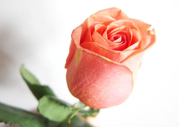 rose_ora