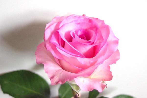 rose_pink