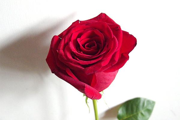 rose_red