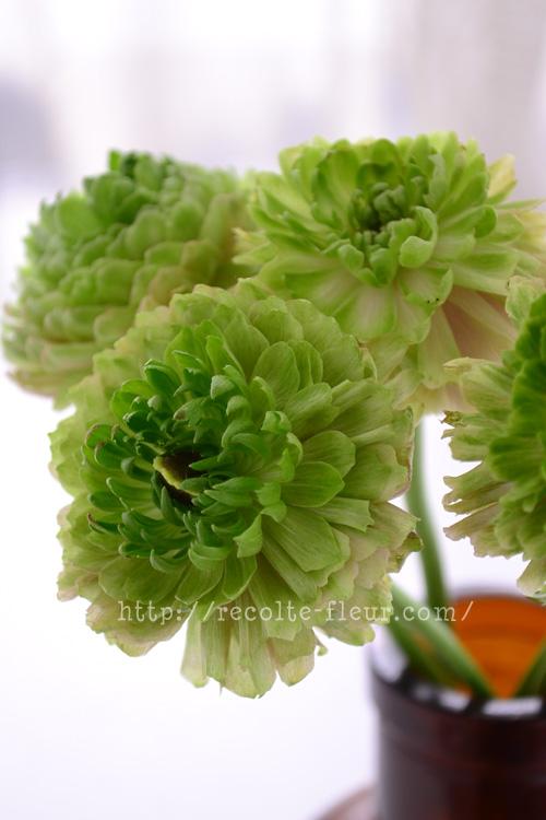 グリーン色もあります。このタイプは、つぼみと開ききった時のサイズが、さほど変わらない品種です。