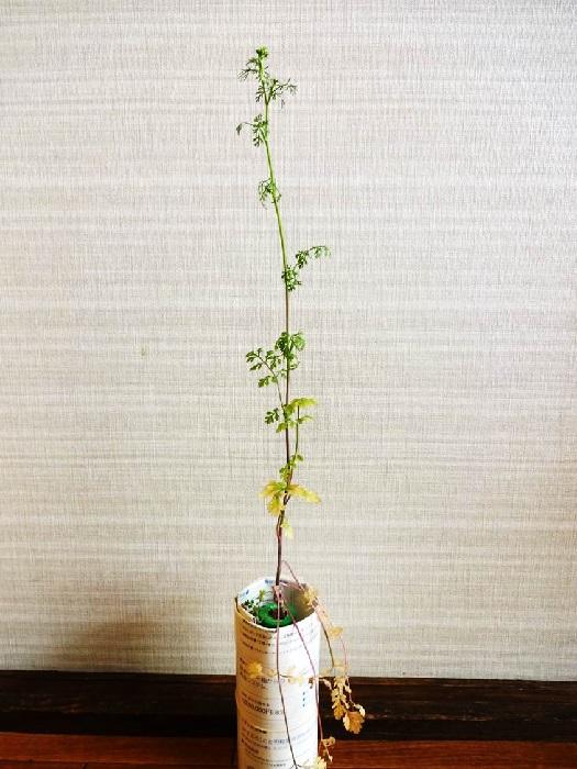 なぜ一本だけ伸びているんでしょう。もしかして何かの病気にかかっていまったんでしょうか。  そんなことを考えながらも、忙しさにかまけてさらに放置しておりました。すると、あの伸びていた一本の茎だけを残して残りの全ての葉が枯れてしまいました。