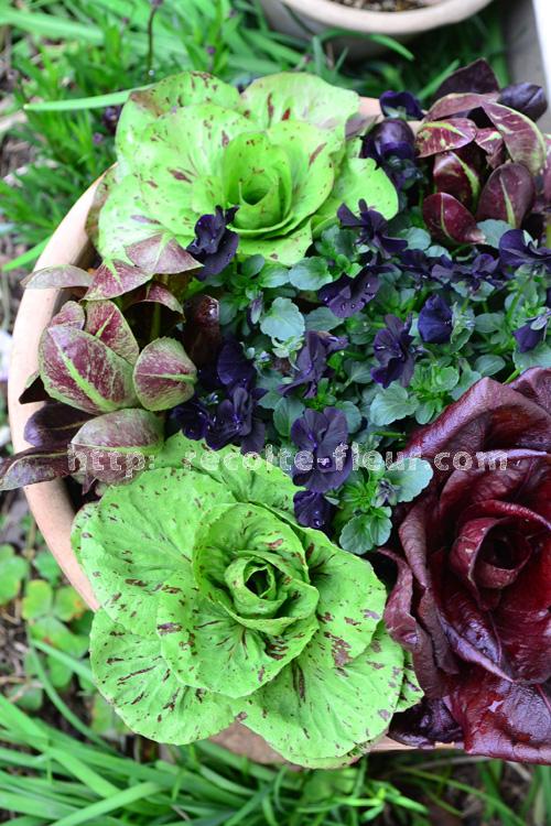 とりあえず、リーフプランツとしてビオラと寄せ植え。シックな葉っぱが素敵。色も豊富ですが、葉の形も丸いものがあったり、細葉のものがあったりと選ぶのが楽しい葉っぱです。</p> <p>そして植えつけるkと、数週間。リーフチコリはモリモリと成長してきたのとは反対に、ビオラがなんだか窮屈そう。花数が少なくなってきました。リーフチコリはどうやら他の花との寄せ植えには向かない様子。