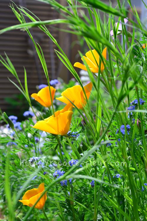 横顔。春から初夏のキラキラした光と花菱草。のんびり見ていたくなります。