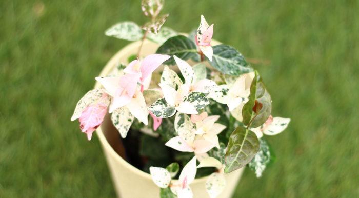 ハツユキカズラは、キョウチクトウ科テイカカズラ属のつる性の常緑性植物です。  寒さにあたると紅葉する姿が大変美しい植物です。冬の寒い季節に可愛らしいピンクの色彩をお庭に与えてくれます。  このハツユキカズラは、環境が悪いとされる日陰や湿った土壌でも比較的良く育ちますのでガーデニング初心者さんにもおすすめの植物です。  ハツユキカズラは病害虫にも比較的悩まされることもなく、剪定だって多少切りすぎても大丈夫。ハツユキカズラは小さな白い花を付けますが主に葉を楽しむ植物です。剪定に最適とされる開花期後以外の時期に剪定しても花芽は付きませんが、今回おすすめしたい葉のピンク色の色づきには影響しません。
