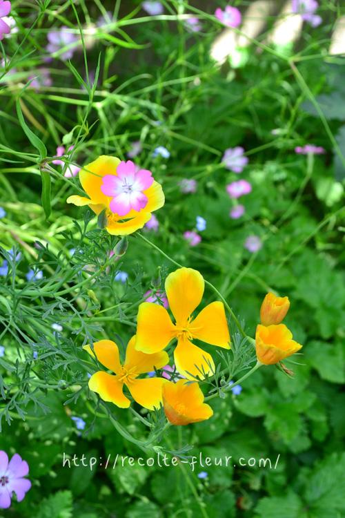 ぱかーん!と開きます。開いているときは平面的な花です。朝晩、開閉を繰り返しますが、花が終わりのころになると、閉じなくなってきます。