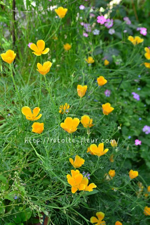英名がカリフォルニアポピー、ケシ科ですが、属はハナビシソウ属の植物です。