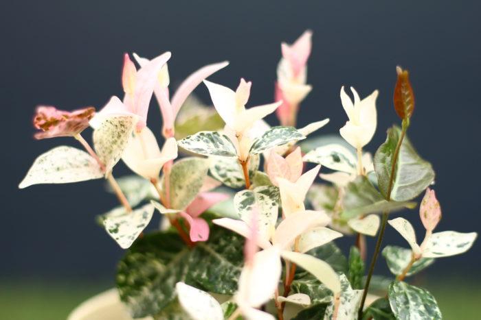 みなさんのご自宅のハツユキカズラは、毎年美しいピンク色に染まりますか?  「ピンク色に染まる」と答えた方は、ハツユキカズラが生育するのにその場所が良い環境であり、しかも育て方も正しいということが分かります。そのまま育ててあげることで、毎年美しいピンク色のハツユキカズラが楽しめます。  もし、ご自宅のハツユキカズラの葉の色味が悪い場合は以下の3つのポイントに注意して育ててあげましょう。  1. 日当たりのよい場所であること ハツユキカズラは日陰ではあまり上手に発色しないようです。かといって、真夏の直射日光で葉焼けする事があるのでなんとも悩ましいかぎりですね。  2. 肥料は十分与えること 肥料が少ない状態では生育がいい状態ではないため、どうやら発色が悪くなるようです。加えて、ハツユキカズラを地植えで育てている場合とプランターで育てている場合とでは肥料を与えるタイミングや量も違ってくると思います。  プランターでハツユキカズラを育てている方は、特に春から夏にかけての生長期は1ヶ月~2ヶ月に1回程度の施肥を心掛けましょう。  地植えの方はその土壌の栄養分によって異なりますが、少なくとも花期・生育期後のお礼肥や寒肥にあたる時期の肥料は忘れずに与えましょう。  3. 十分に水を与えること こちらもプランター栽培と地植え栽培ではニュアンスが違ってくると思います。  プランターでハツユキカズラを育てている方は、乾いたらたっぷり水を与えます。ここでポイントとなるのが、ちびちび毎日与えるのではなく「与えるならばしっかりと」という点です。水とともに根に十分な酸素を与えるイメージで、与える時は鉢底から水が出てくる程たっぷりの水やりを心掛けましょう。  地植えの方は肥料同様に土壌の状態によって水やりの頻度が違ってくると思います。新芽の生育状態をよく観察して判断しましょう。