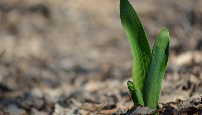 春咲き球根、もう芽が出ちゃった...