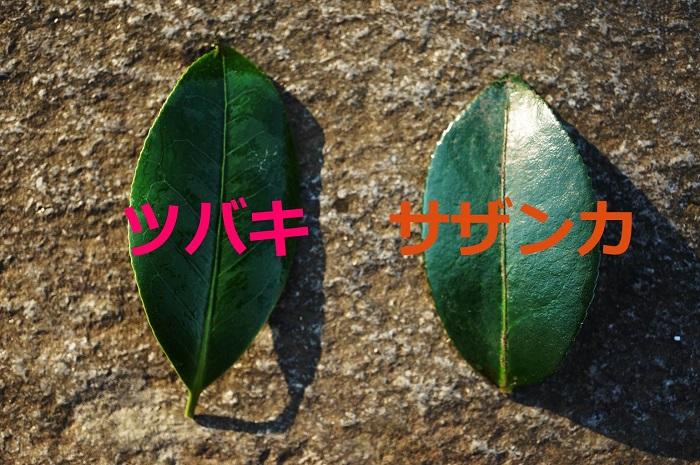 花がない時期は葉で見分ける 花がない時期は葉で見分けます。葉で見分けることが出来ればプロの領域に仲間入りです。