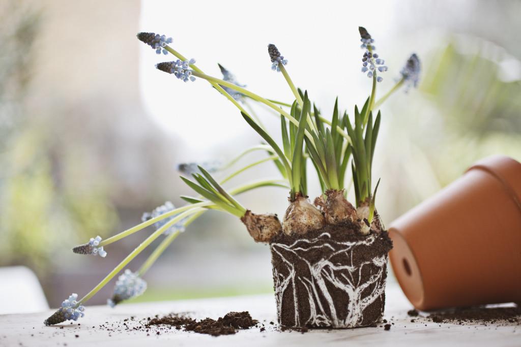 """鉢植えで育てる場合 日当たり・置き場所はどこに置けばいいの? 日当たりのいい場所で管理してあげましょう。日当たりの悪い場所だとムスカリが徒長したり、花付きが悪くなる可能性があります。  土は、どんな種類を使えばいいの? 市販の培養土でも構いません。水はけのよい土にしましょう。酸性の土は苦手なので注意。  水やりの頻度は? 土が乾いたら、たっぷりと水をあげます。咲き終わると休眠するので水は必要ありません。  肥料はいつ与えるの? 植え付け時に緩効性肥料を混ぜておき、お花が咲いたあとの5月あたりに、15日に1回液体肥料を与えます。    地植えで咲く、ムスカリも可愛い 植え付けはいつなの? ムスカリの球根の植え付け時期は、9月から11月のシーズンに行います。  時期が早すぎると、葉がだらりと長くなってしまうので遅めに植えるのをおすすめしますが、あまり遅いと球根の生長が間に合わないので注意しましょう。  ▼ムスカリを使った寄せ植えアレンジはこちらから  <div class=""""posttype-post shortcode""""><div id=""""posts"""" class=""""default-posts""""><article><a href=""""https://lovegreen.net/containergarden/p123053/"""" class=""""clickable""""></a>     <div class=""""thumbnail"""" style=""""background-image:url(https://lovegreen.net/wp-content/uploads/2017/11/TOP.jpg);"""">         <a href=""""https://lovegreen.net/containergarden/p123053/""""></a>   </div>   <div class=""""top-post-ttl-extext"""">     <h2><a href=""""https://lovegreen.net/containergarden/p123053/"""">11月におすすめ! 3種の球根を使った寄せ植え 作り方と球根が咲いた記録</a></h2>     <p><a href=""""https://lovegreen.net/containergarden/p123053/"""">3種の球根を使った寄せ植えの作り方を紹介します。トリプルデッカーって聞いたことありますか? トリプルデッカー…</a></p>     <p class=""""top-post-name"""">戸松敦子</p>     <time class=""""top-post-date"""" datetime=""""2020-01-05"""">2020.01.05</time>     <span class=""""post-cat""""><a href=""""https://lovegreen.net/containergarden/"""">寄せ植え</a></span>  </div> </article></div></div>"""
