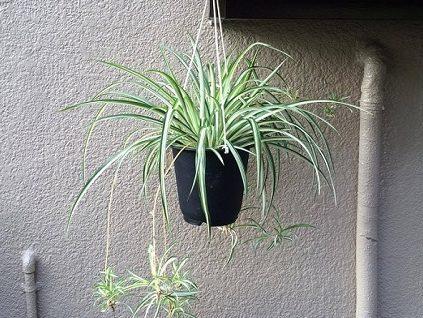 オリヅルランは、蔓のようなランナーから次々と子株を出して増えていく観葉植物。子株が折り鶴のように見えることから、その名がついたようです。花言葉に子孫繁栄とあることから家庭運に良いとされています。。乾燥に強いですが、土の表面が乾いたらたっぷりお水をあたえましょう。明るい場所で管理します。