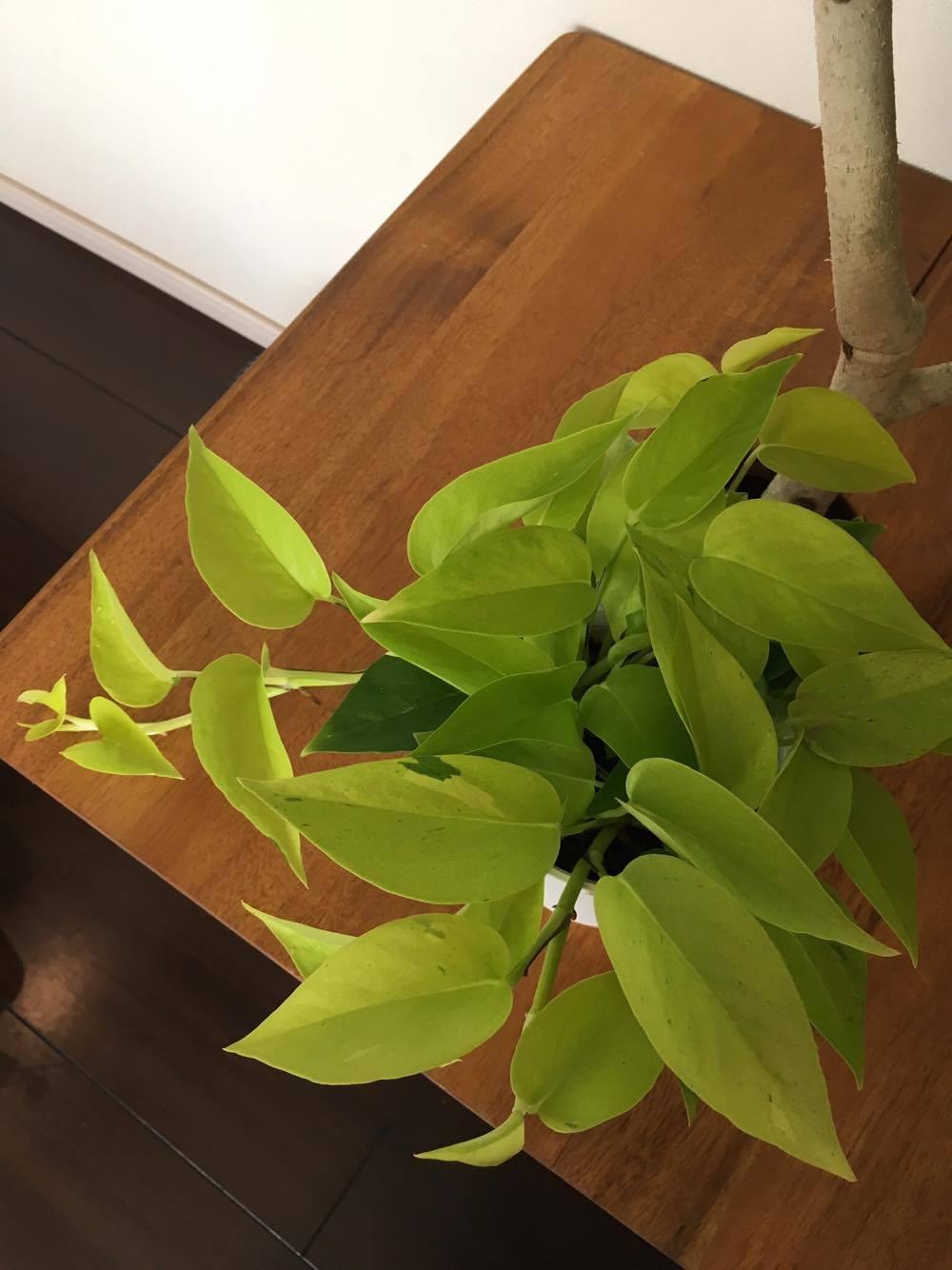 ポトスといえば、定番の観葉植物ですよね。初心者でも育てやすく、どんどん品種が増えて、新しい魅力的な品種も開発されているので、ベテランの園芸家も楽しめる植物です。仕立て方も、ハンギングで上から垂らしたり、逆にヘゴ仕立てなどで上に這わせていくなど、変化も楽しめますし、切って水に挿しておけば簡単に発根するといった楽しみもあります。もっとも飽きのこない観葉植物と言っていいでしょう。