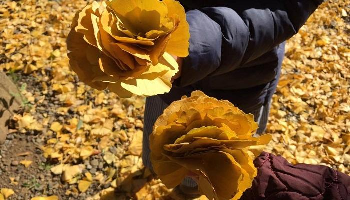 早速、子供達と一緒に銀杏狩りに出かけました。  たくさん拾って「イチョウのバラだよー!」と子供たちは嬉しそうです。この他にも違う植物の落ち葉や木の実、石ころ拾いをしばらく夢中になって探してました。宝探しみたいなわくわく感があるのでしょうか?防虫剤に使う葉っぱは出来るだけ虫食いなく、破れ汚れがないものを選びましょう。