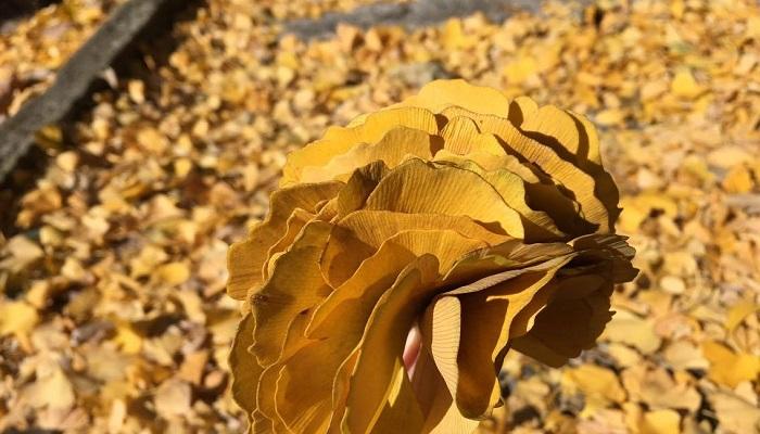イチョウの葉には洋服などにつく虫が嫌いなシキミ酸が含まれていて防虫効果があるようです。また、昔から着物の箪笥にはイチョウの防虫剤を入れていたり、虫食いのない古文書にはイチョウの葉がはさまれていたらしいです。先人達の知恵は素晴らしいですね◎ 防虫剤の匂いが苦手な方とか、出来るだけ環境に優しいモノを普段の生活に取り入れたいとお考えの方、作り方はとっても簡単なのでぜひ作ってみてくださいね!