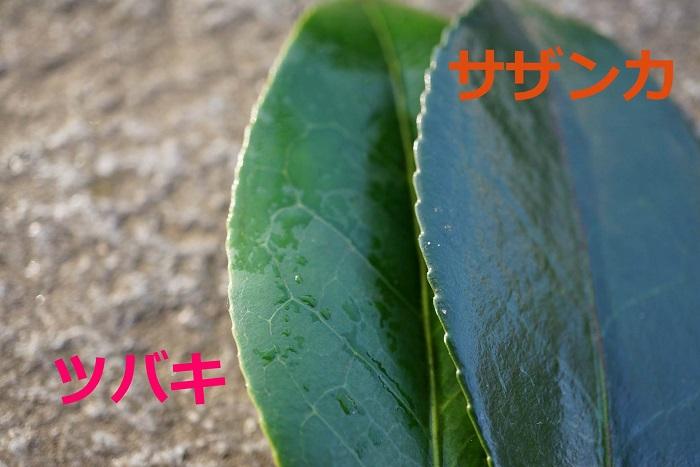 鋸歯(葉のふちのギザギザ)で見分けることも。  ●椿(ツバキ):鋸歯が浅い  ●山茶花(サザンカ):鋸歯がツバキから比べて深い