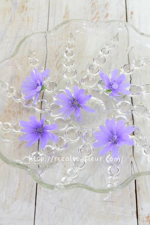 淡いブルーがとてもきれいです。ちなみにチコリの花は半日花。お昼ごろには閉じてしまいます。きれいな花を見ることができるのは午前中です。