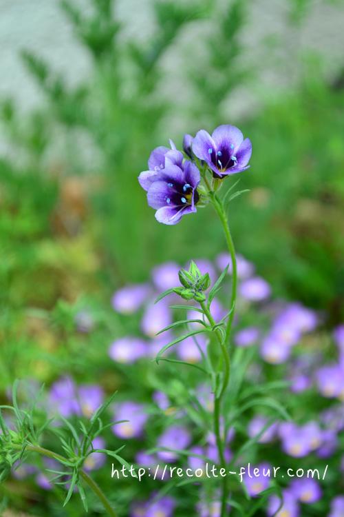 花が終わったあと、そのままにしていると種が取れます。翌シーズン種まきをしたい方はお試しください。(とても細かい白い種です)