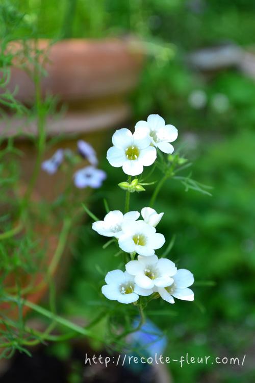 白の品種もあります。純白できれいな白なのでホワイトガーデンにおすすめ。