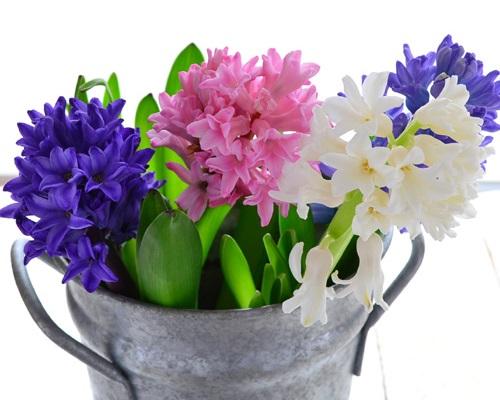 気に入った方は、育ててみてはいかがでしょうか。ヒヤシンスの生花としての出回りは、3月までです。珍しい色がありましたら、またご紹介させてただきますね!