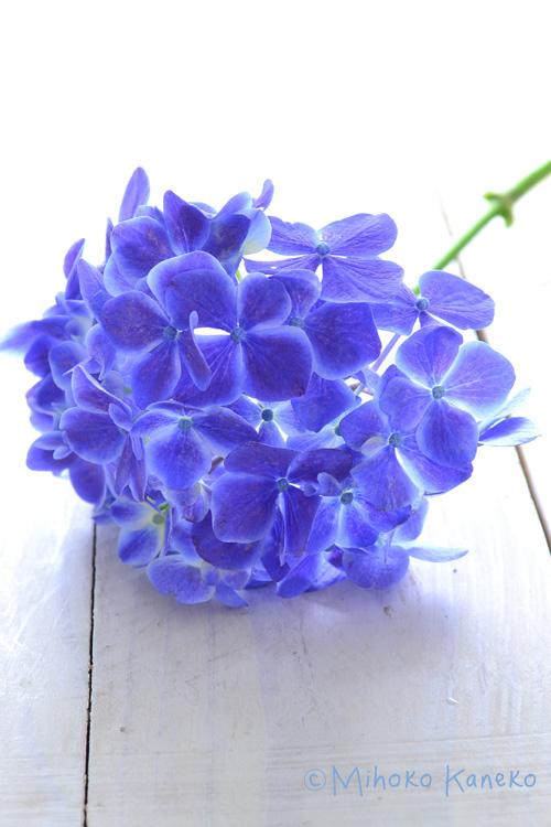 花言葉は「強い愛情」「家族団欒」「家族の結びつき」などです。  語源の「青い花が集まり咲く」というとことから強い結びつきが連想され、そこから家族の結びつきが強調されているようです。  紫陽花は白や赤、などといった花色から花の形まで様々なので是非お気に入りの一株を見つけてみて下さい。