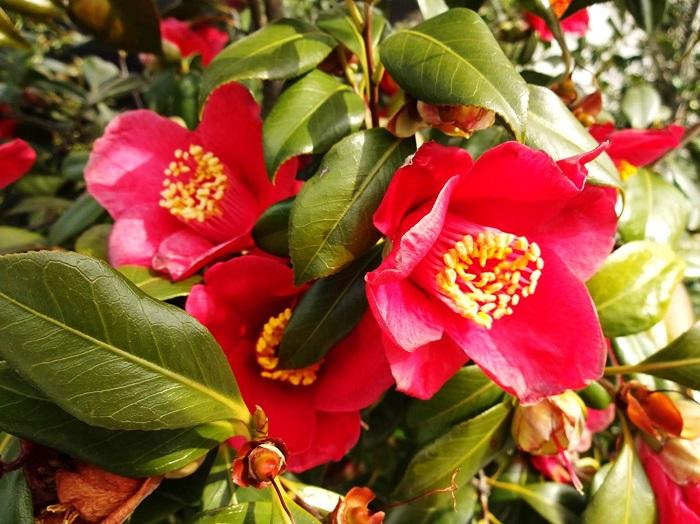 ●椿(ツバキ):花がやや筒状で立体的で厚みがある  ●山茶花(サザンカ):花がツバキから比べて平面的で薄い