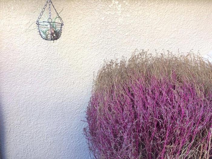 まずは、ピンクになって紅葉が終わりそうなコキアを収穫します!  半日陰で風通しのいいところで、全体的に茶色くなるまで置いておきましょう。