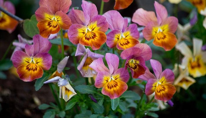 花柄を摘むなんてことは基本中の基本ですが、実際どうして摘まなければならないのでしょう?まずは、お花の一生について考えてみましょう。  ビオラのような種が発芽する植物は、  種が発芽。 葉や茎が生長。 花芽を作り。 子孫を残すため種を作る態勢に変わる。 種を作るために、株のエネルギーを消費する。 種がはじけ土に落ち、発芽する。 このようなサイクルを繰り返します。  そのため、種を作ろうとするエネルギーを消費させないようにすると、花は次から次へと咲かせようとするのです。