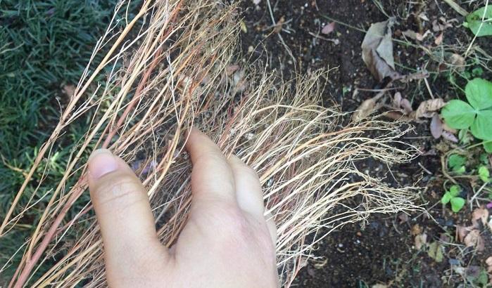 今回の種はもう干からびていたのでそのままザックリ取ってしまいました。手櫛でやると弱い枝も落ちるので綺麗になります。
